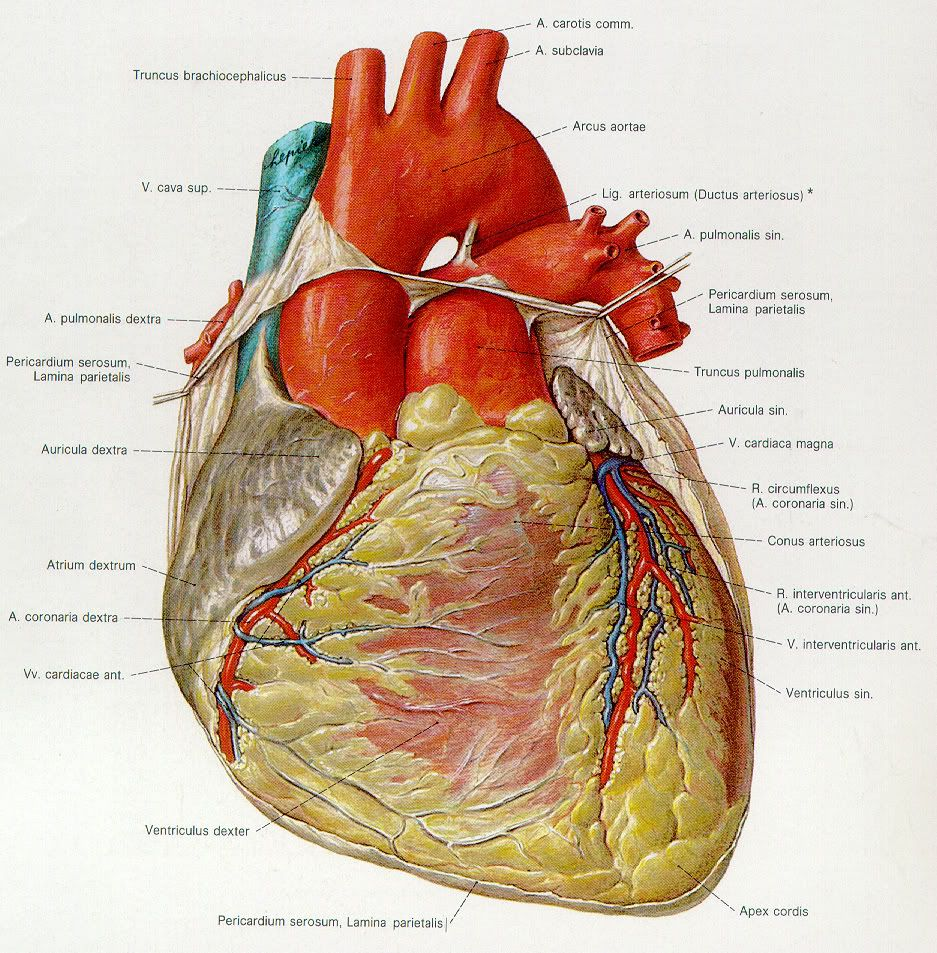 The characteristics of the human heart the muscle that maintains the circulation of blood