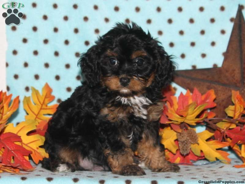 Cavapoo Puppies For Sale In Pa Cavapoo Puppies Puppies Cavapoo Puppies For Sale