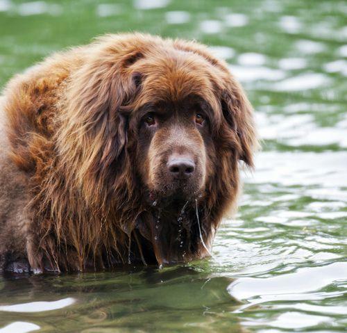 Newfoundland Dog Tumblr