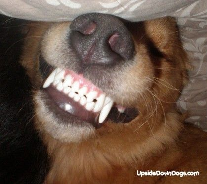 charlie the golden retriever BIG SMILE Puppy dog