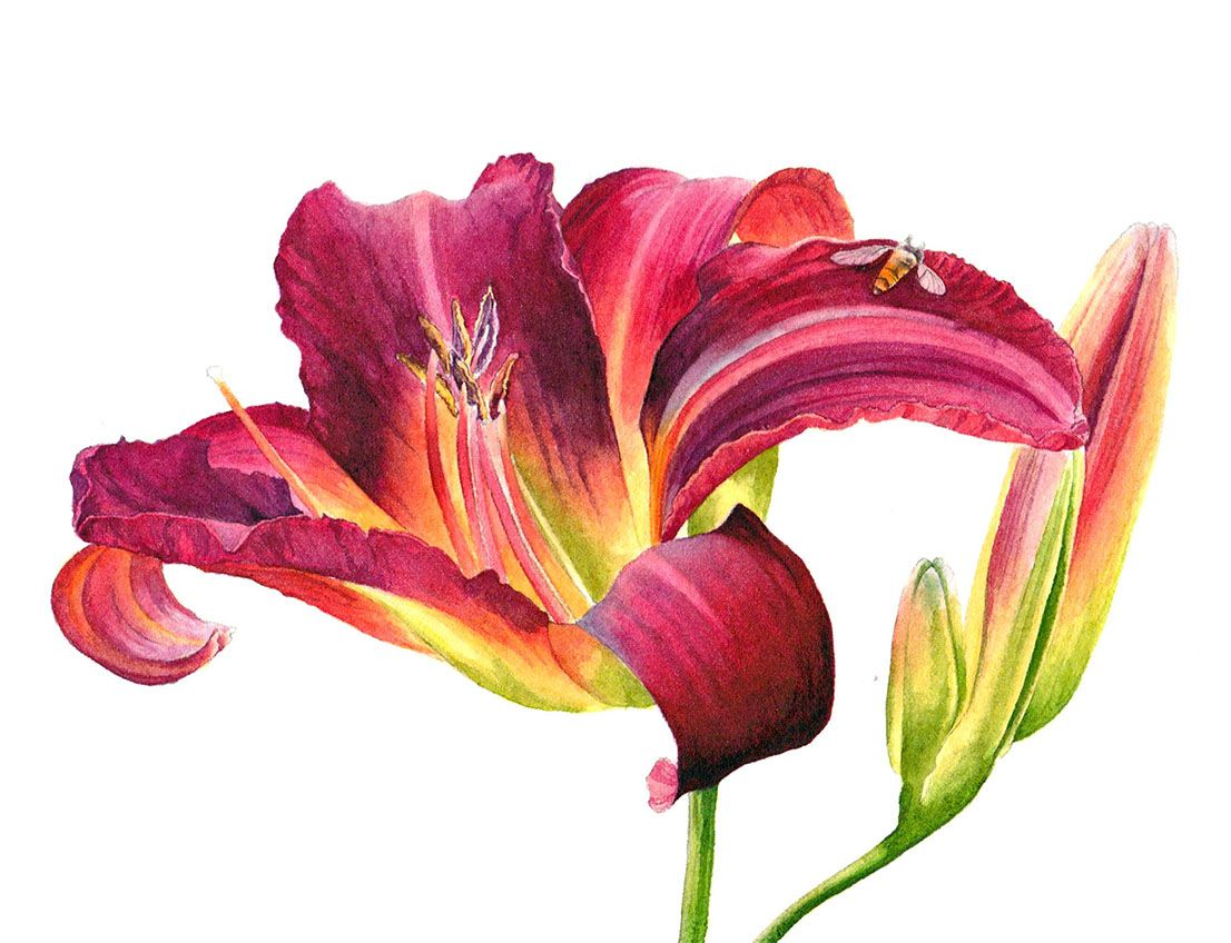 Vibrant Red Lily Helen Campbell Watercolor Botanical Illustration Watercolor Flowers Lily Painting Illu Lily Painting Watercolor Flowers Botanical Art