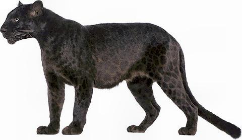 the black panther jaguar  leopard  leopard pictures