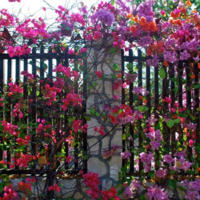 A Tropical Bougainvilla Wrought Iron Fence In Jamaica