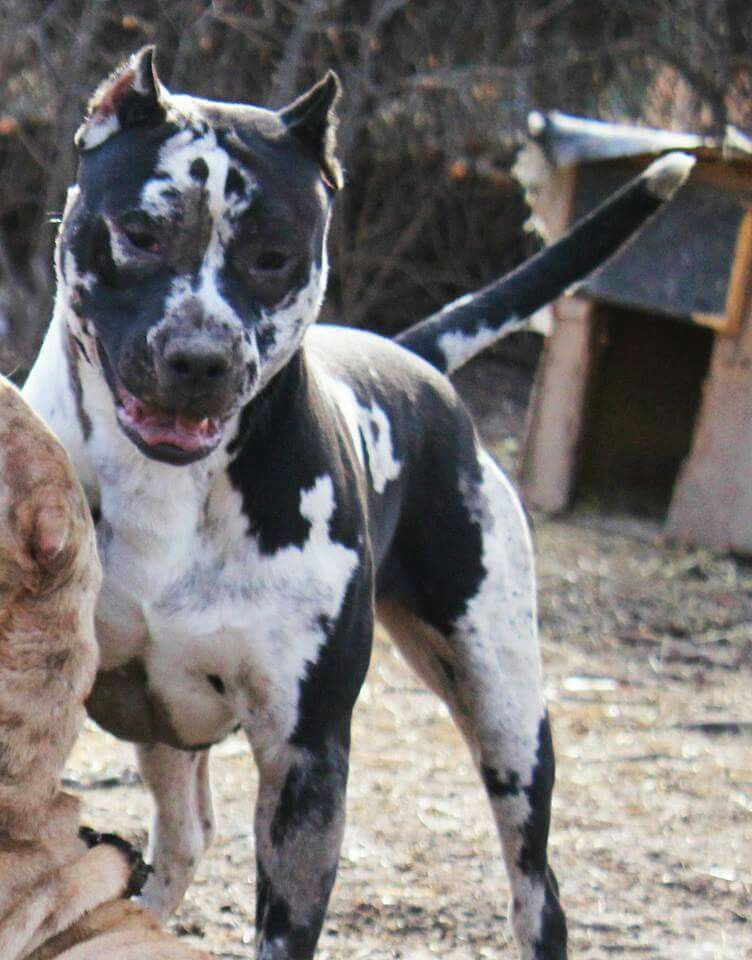 Merle Pitbull Bully Breeds Dogs Pitbull Terrier Pitbull Puppies