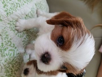 Litter Of 2 Cavalier King Charles Spaniel Puppies For Sale In Reno
