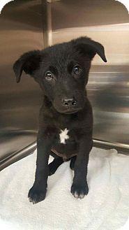 New York Ny Collie Labrador Retriever Mix Meet Thor A Dog For
