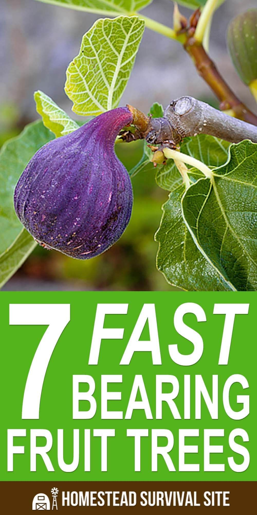 Fast Bearing Fruit Trees Most fruit trees take a long time to start bearing fruit, but there are some varieties that will give you fruit in just a few years.Most fruit trees take a long time to start bearing fruit, but there are some varieties that will give you fruit in just a few years.