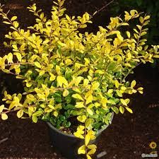 Image result for ilex crenata golden gem | Garden Planting ...