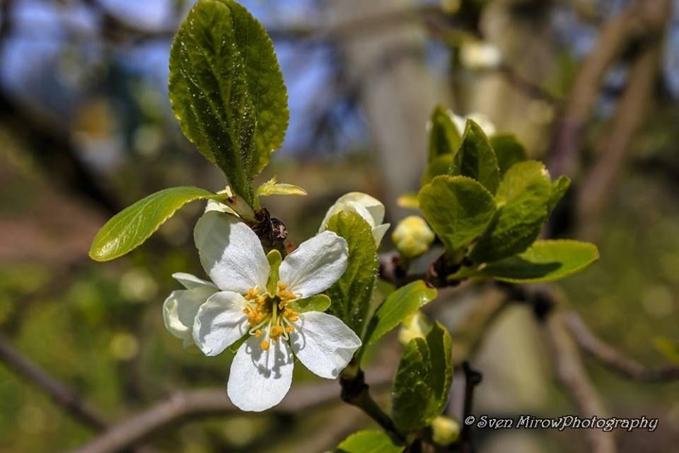 Kirschblüte Altes Land