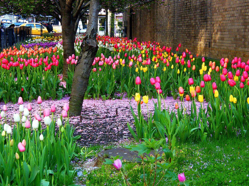 New York City Boroughs ~ Manhattan | Spring tulips, 2009