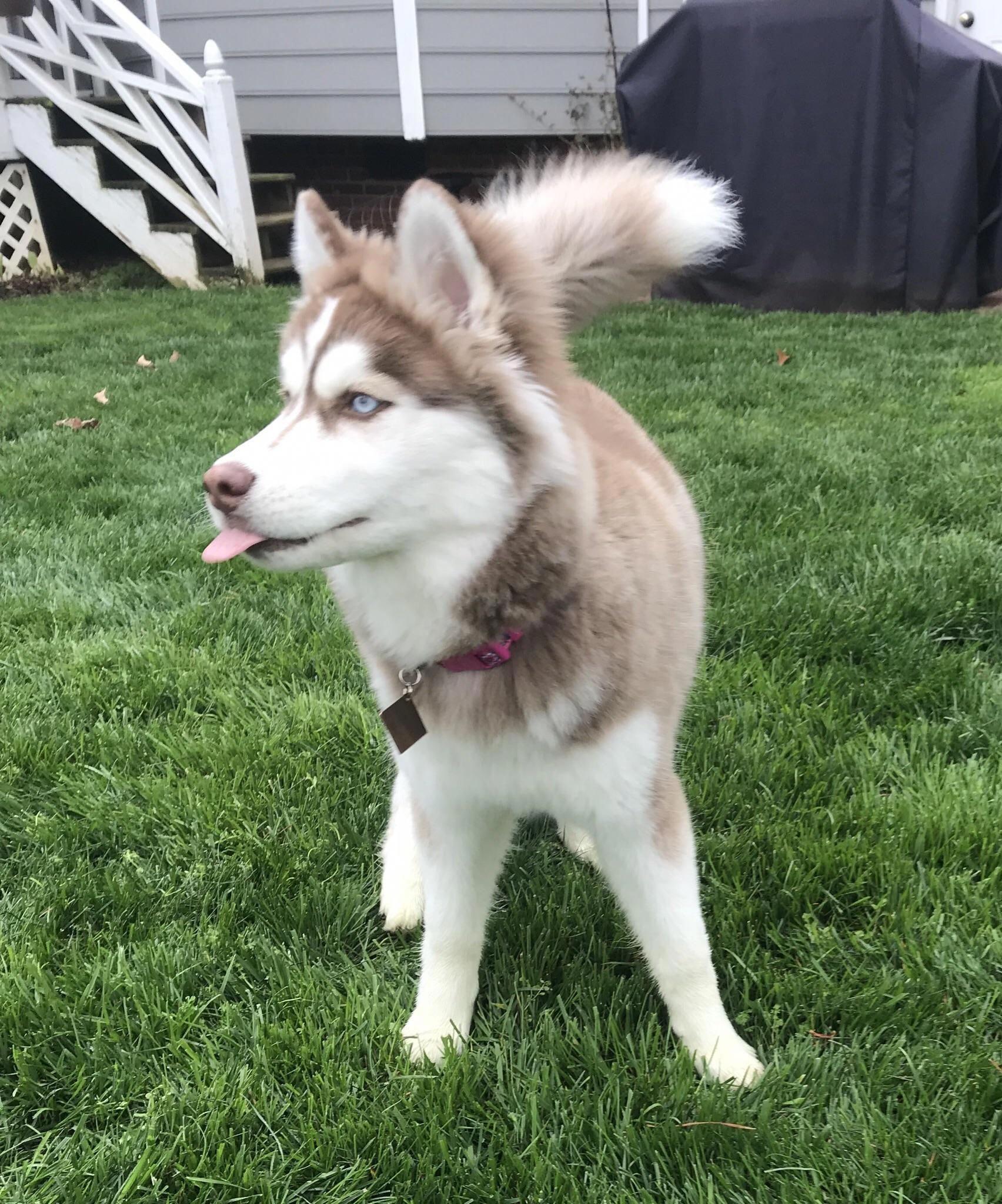 Discover Bold Siberian Huskies Size Siberianhuskyluvrs