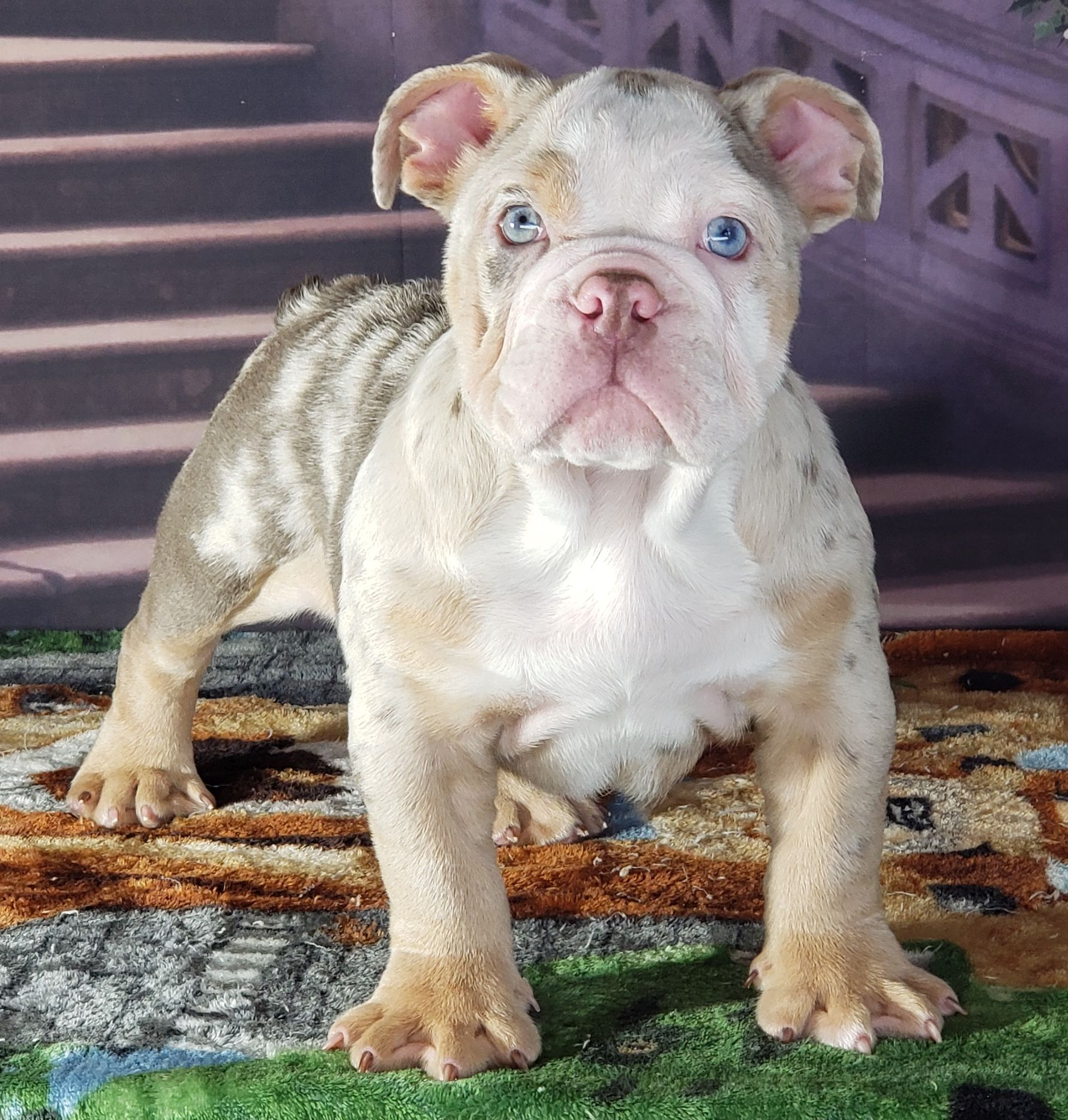 Polaris Lilac Merle English Male 5500 pet price 8500