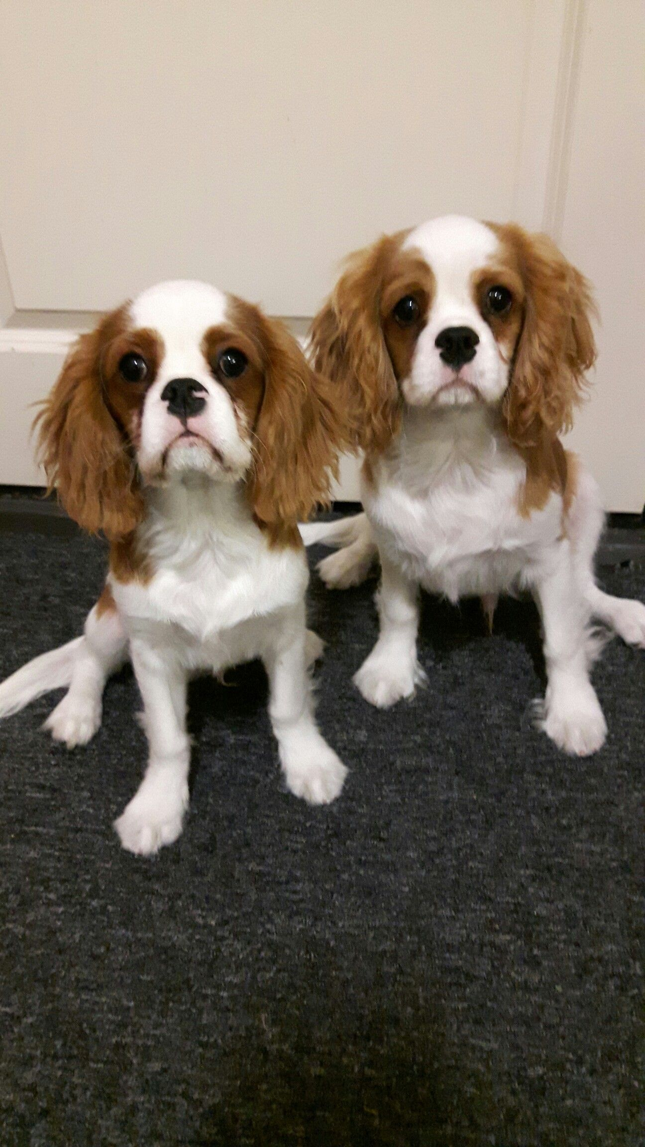 Diamond Dancer Waiting For Food Gloriousfood King Charles Cavalier Spaniel Puppy King Charles Puppy Cavalier King Charles Spaniel