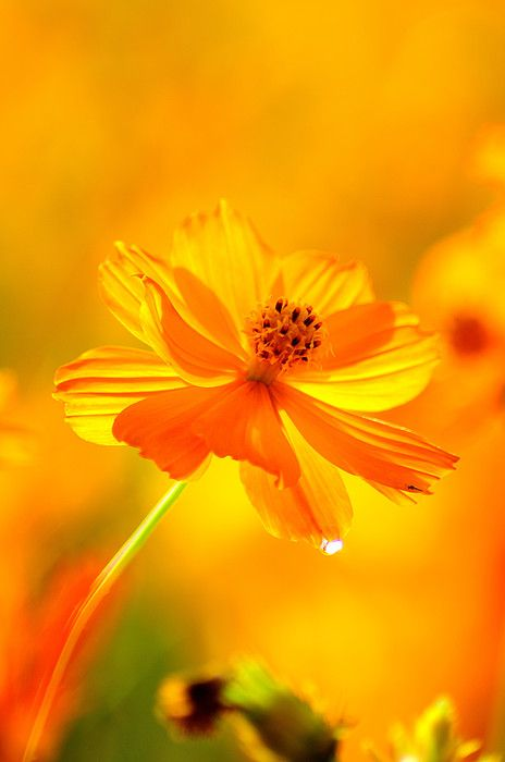 Yellow Cosmos flower #yellow #golden #cosmos