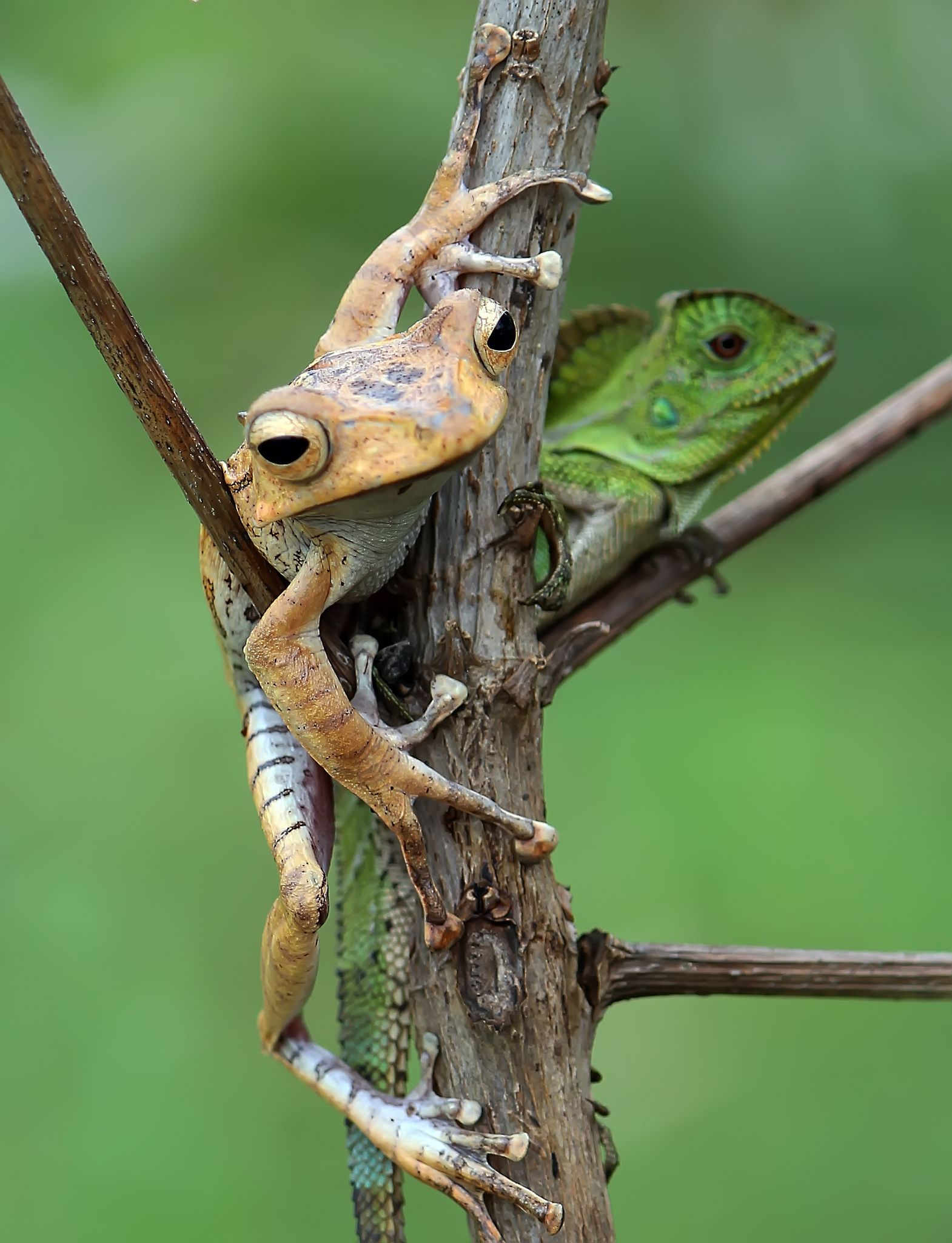 Frog And Lizard In Harmony By Sfipul With Images