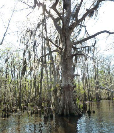 533a5d696ab54-cajun-encounters-swamp-tour-review-a-unique-new-orleans-attraction-8.jpg (400×467)