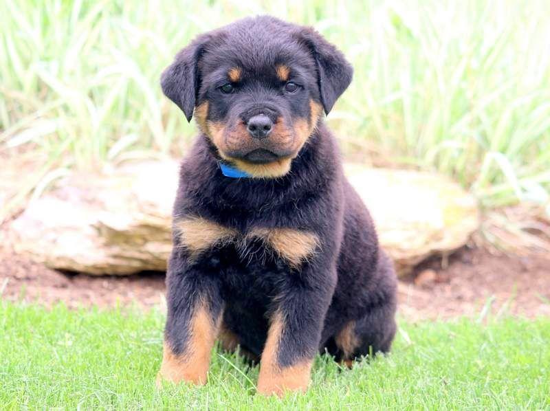 Trooper Rottweiler Mix Puppies Rottweiler Puppies Rottweiler Mix