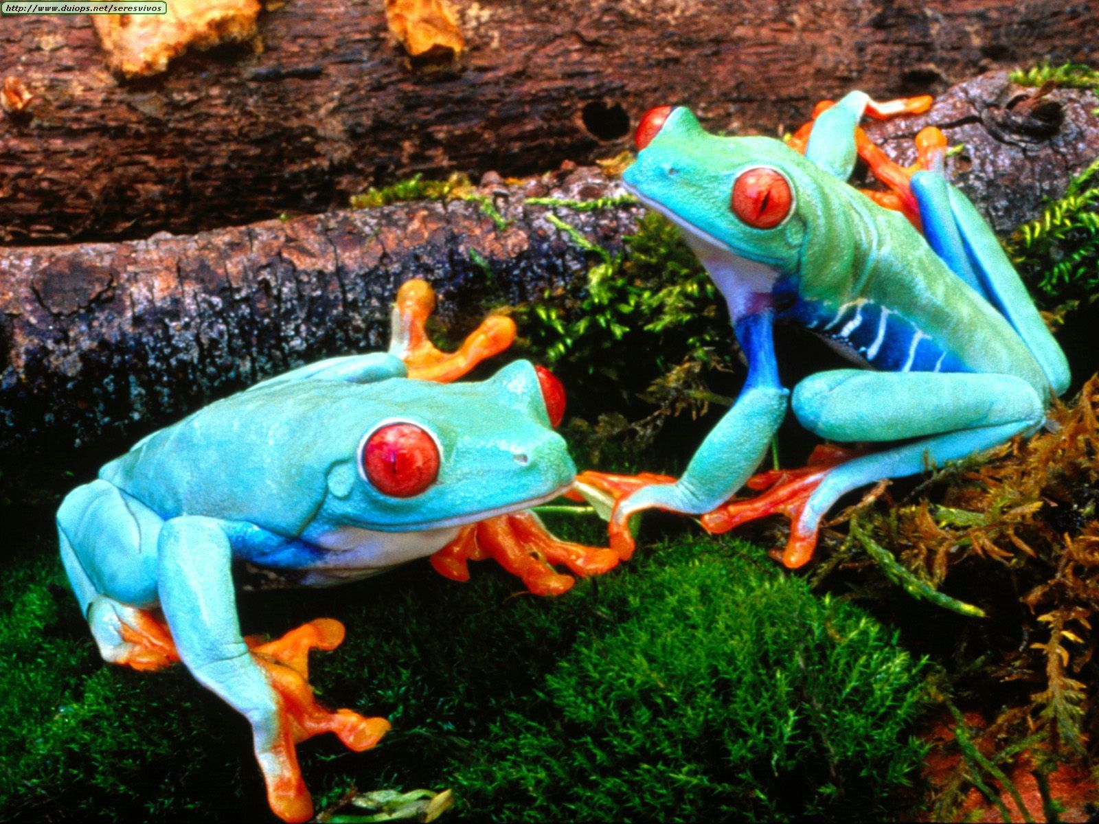 Pin by Delly Tankka on reptil Tree frogs, Red eyed tree