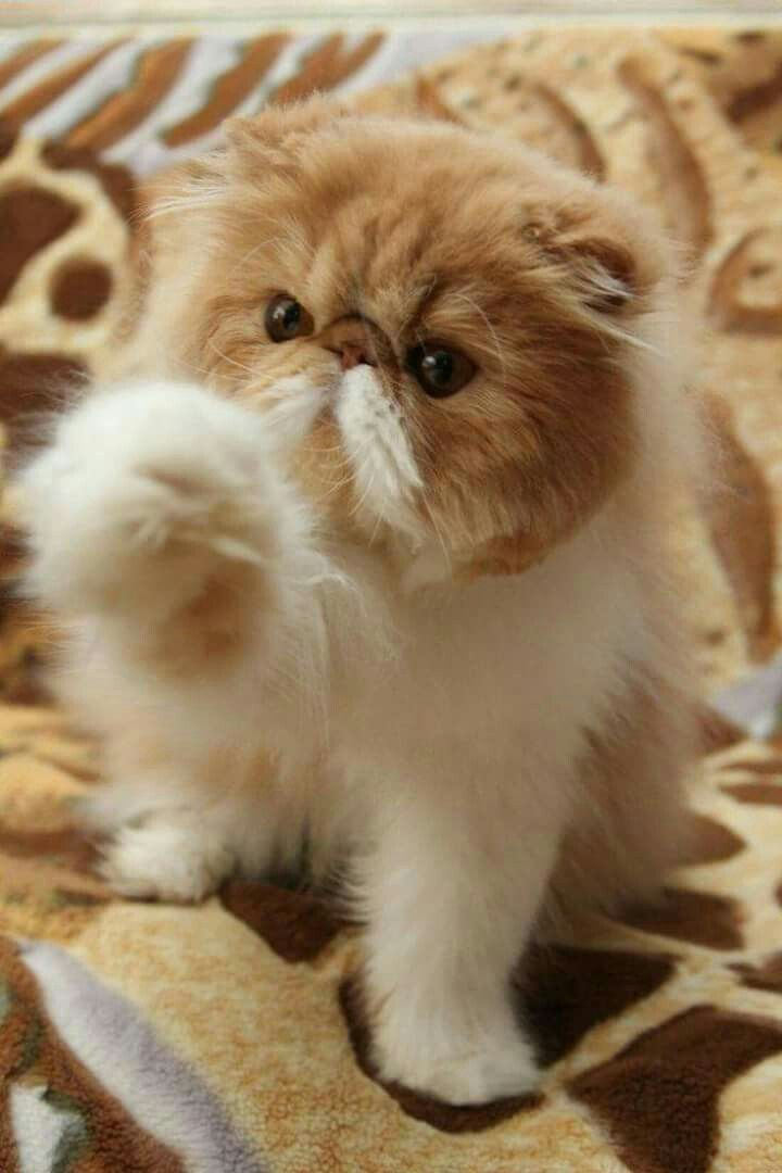 20 Most Popular Long Haired Cat Breeds Samoreals Cute Cats Kittens Cutest Pretty Cats