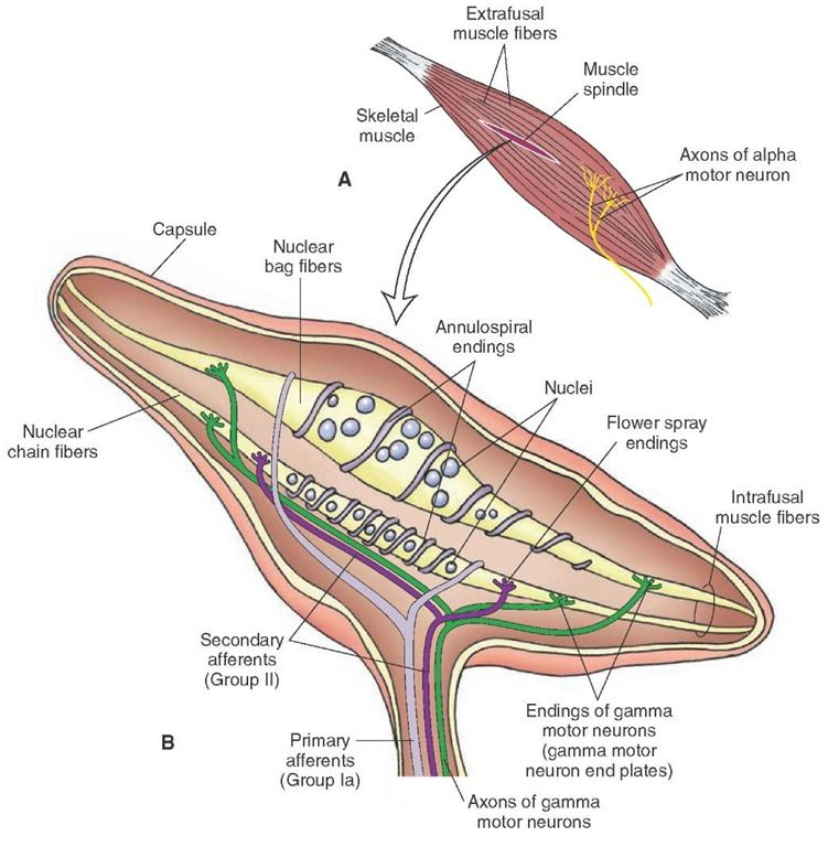 A) Muscle spindles are located deep in the skeletal muscles parallel ...
