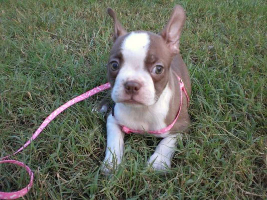 Boston Terrier Red and White Picture of a Baby Made In America