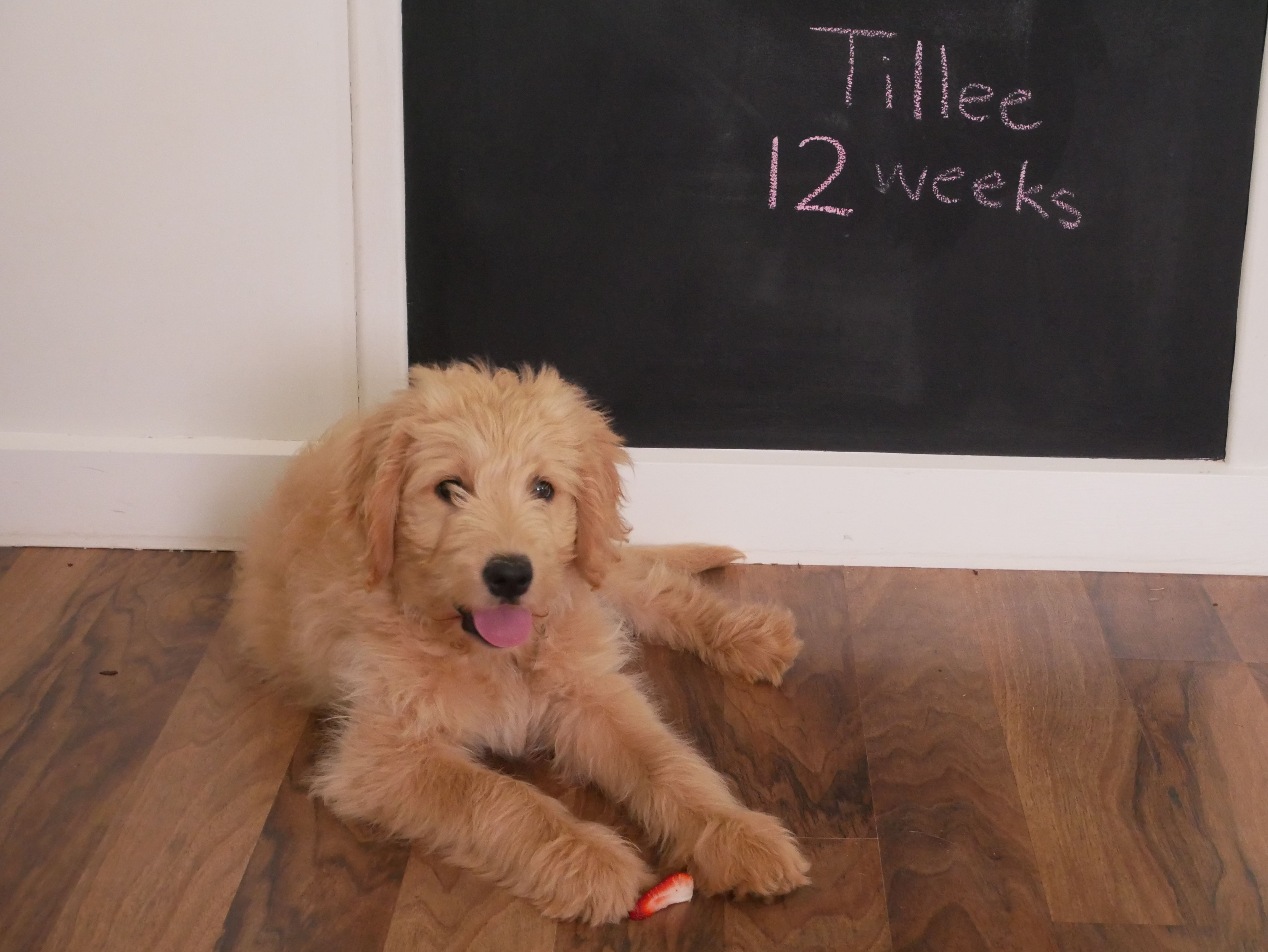 Tillee Groodle At 12 Weeks Weight 7 9kg Puppy Training Golden