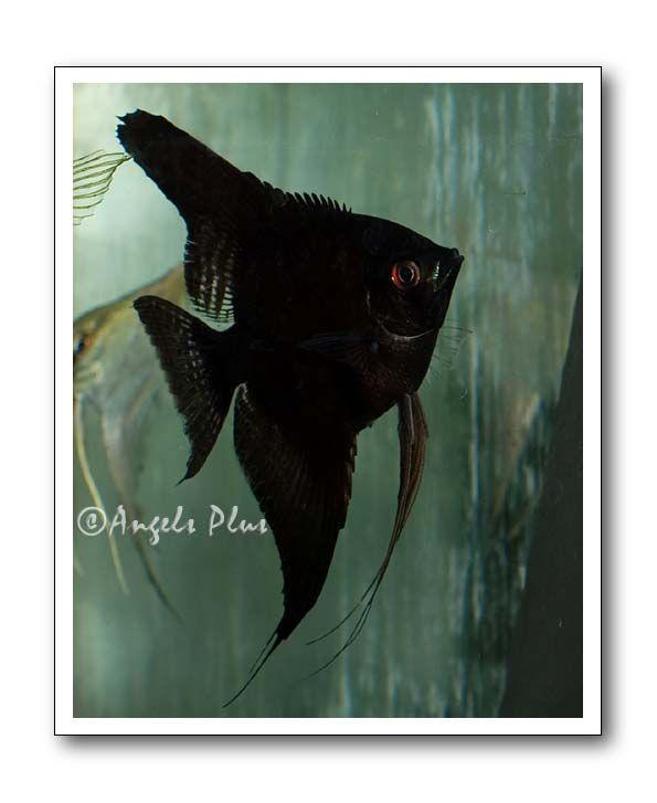 Black (Double Dark) Angelfish