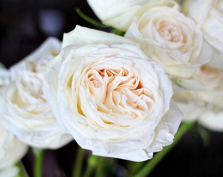 High Quality White Ou0027Hara Garden Rose