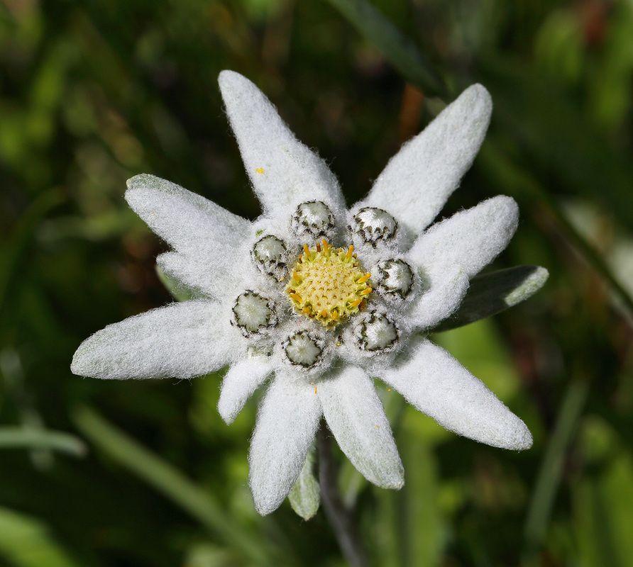 suiza flor edelweiss bilaketarekin bat datozen irudiak