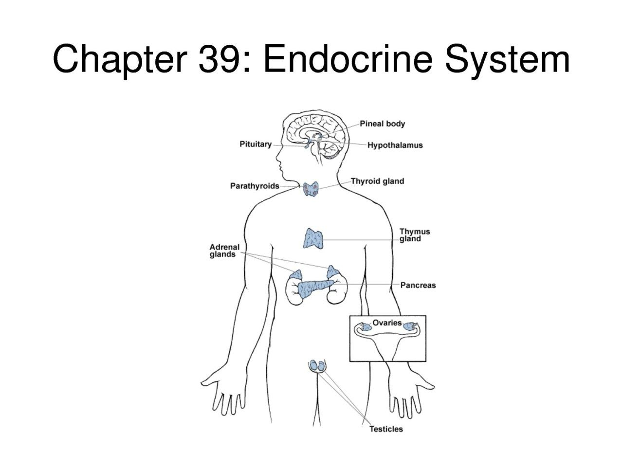 Endocrine System Diagram For Kids Endocrine System Diagram