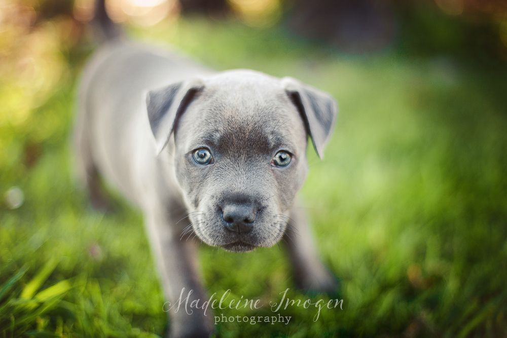 Purebred English Staffy Puppy Madeleine Imogen Photography