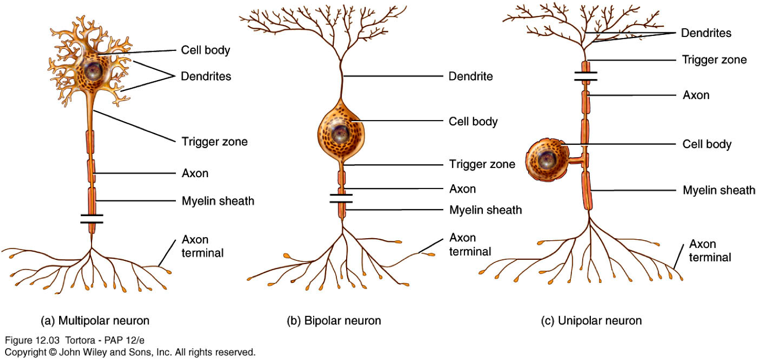 neurons1317783116886.png (1472×703) | Anatomy & Physiology Diagrams ...