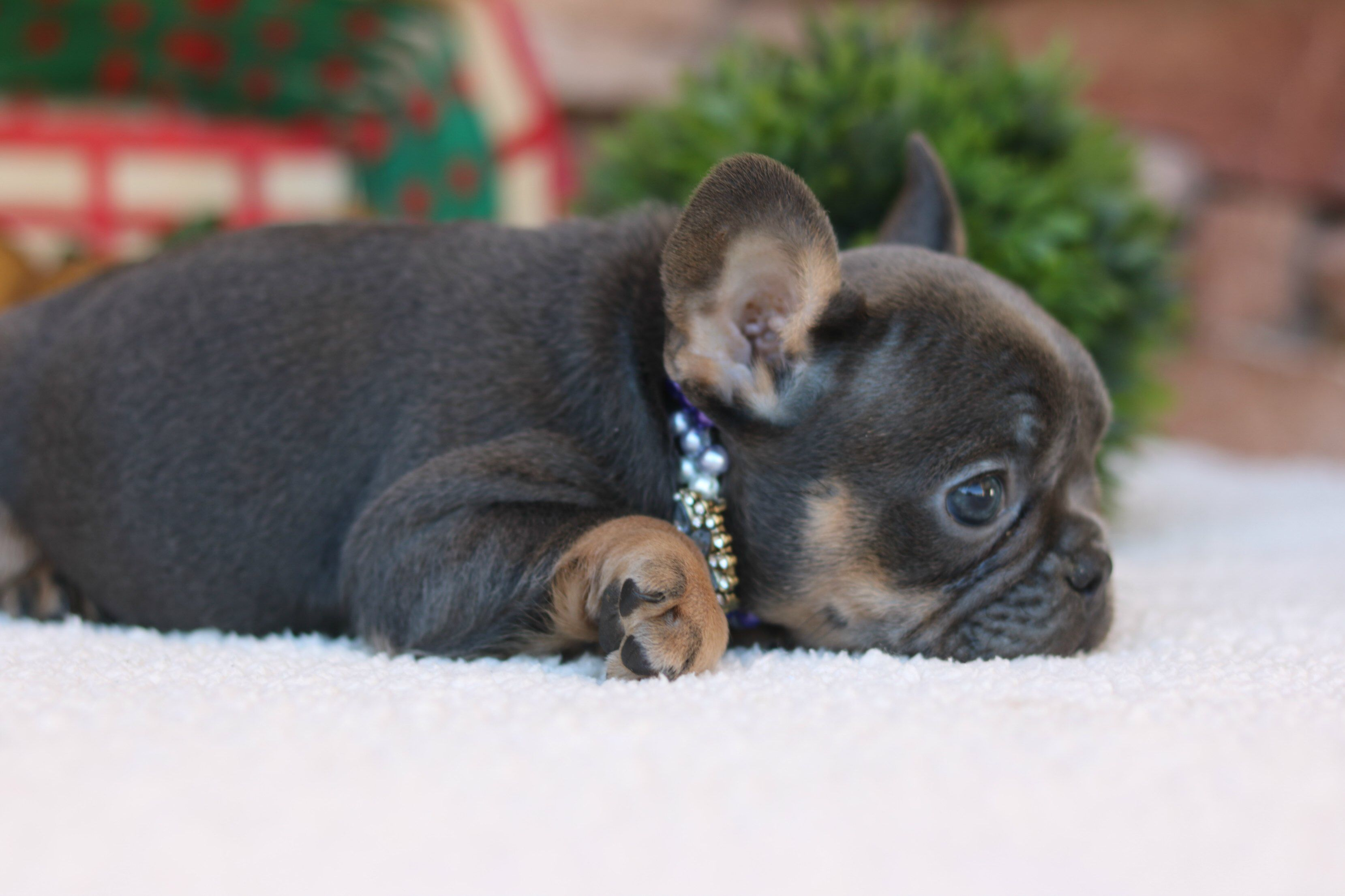 Blue And Tan Frenchie Bulldogfrenchie German Shepherd French