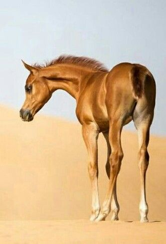 Pin By Lisa Nicholson On Fabulous Foals Beautiful Horses Beautiful Arabian Horses Horses And Dogs