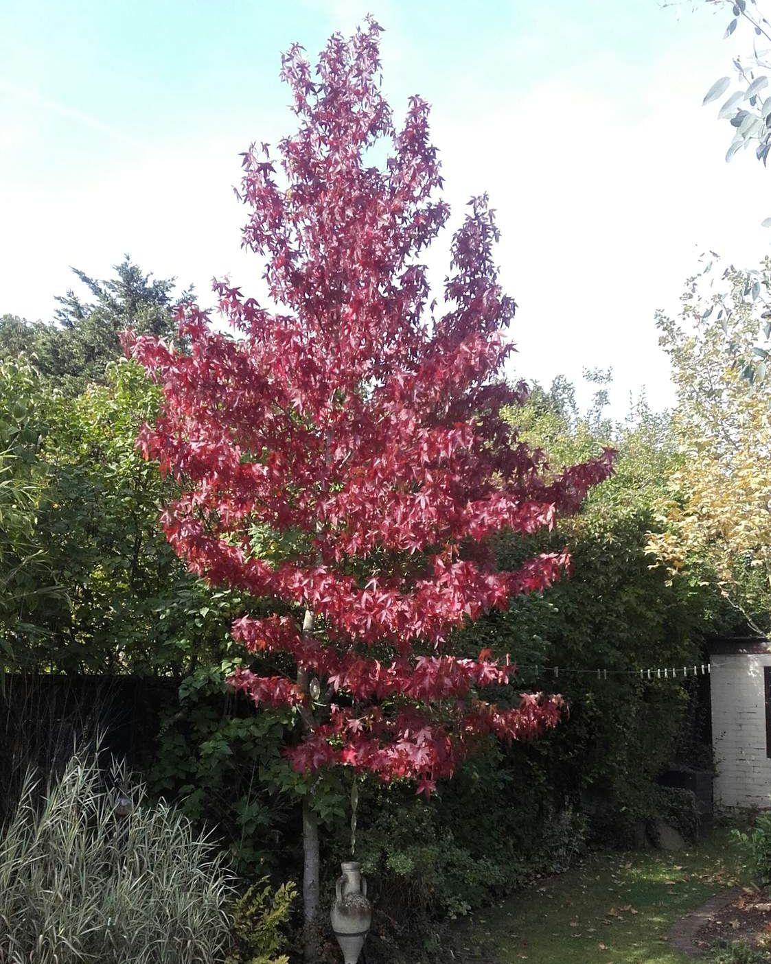 5ft Sweet Gum Tree 9l Pot Liquidambar Styraciflua 34 99