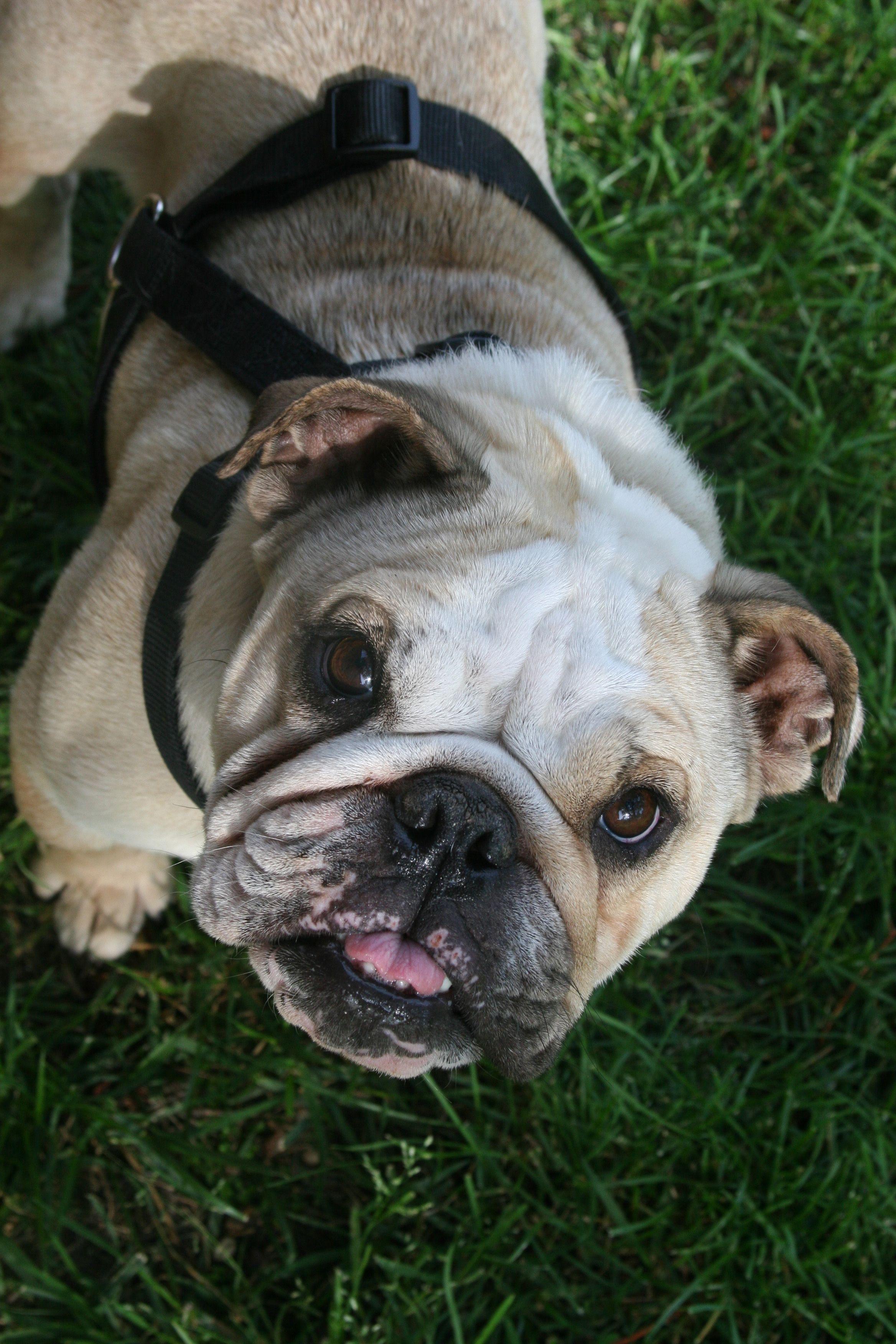 Faith English Bulldog English bulldog, English