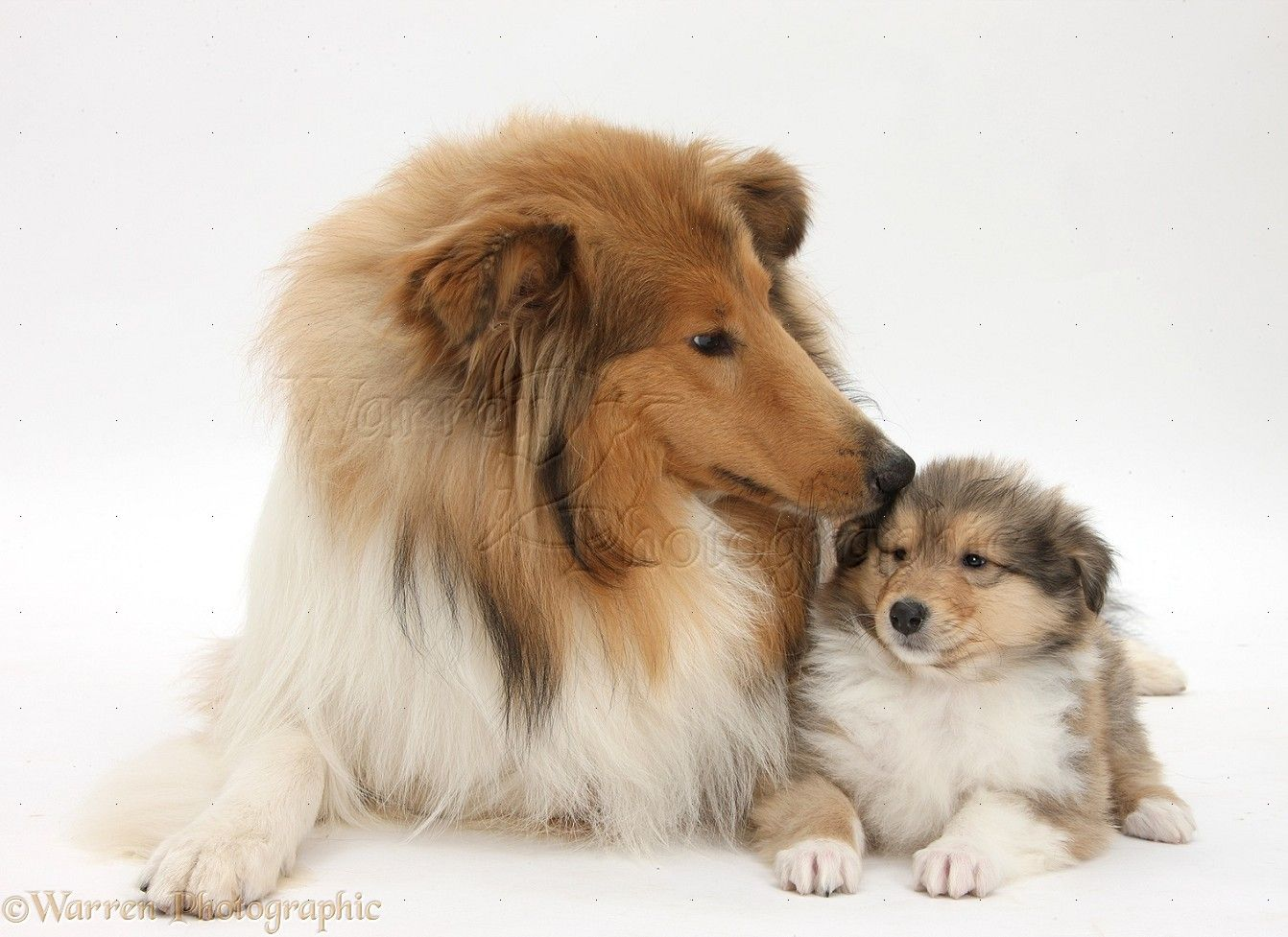 WP38065 Sable Rough Collie dog, and puppy, 7 weeks old