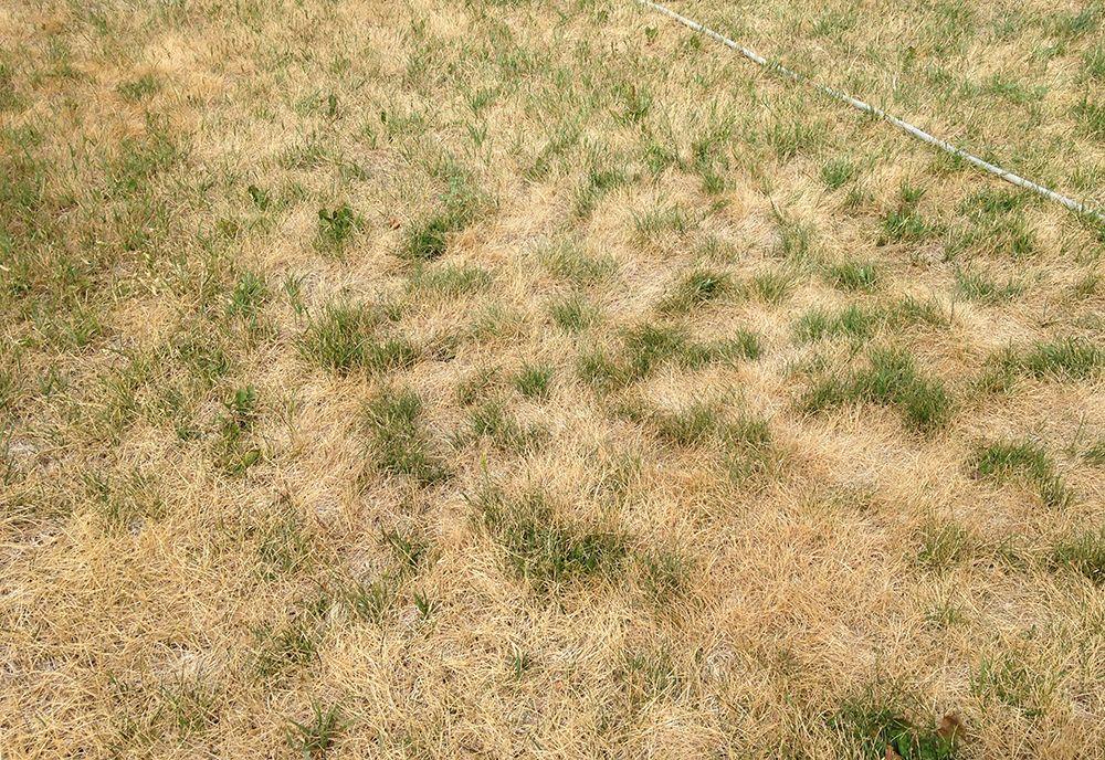 Kentucky Bluegrass Lawn Recovery Best Grass Seed Bluegrass Lawn
