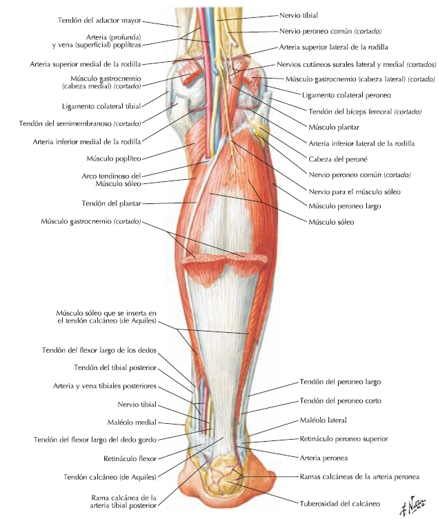 pierna+posterior+2.png (635×769) | Anatomy- Human Body- References ...