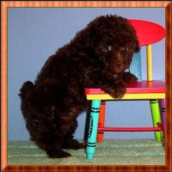 Brown Tiny Toy Poodle Puppy Female For Sale By Akc Breeder
