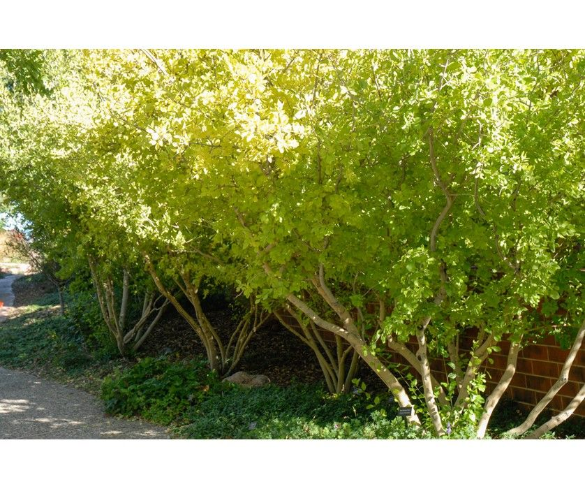 New Mexican Privet Helps To Soften The Look Of Low Water Gardens
