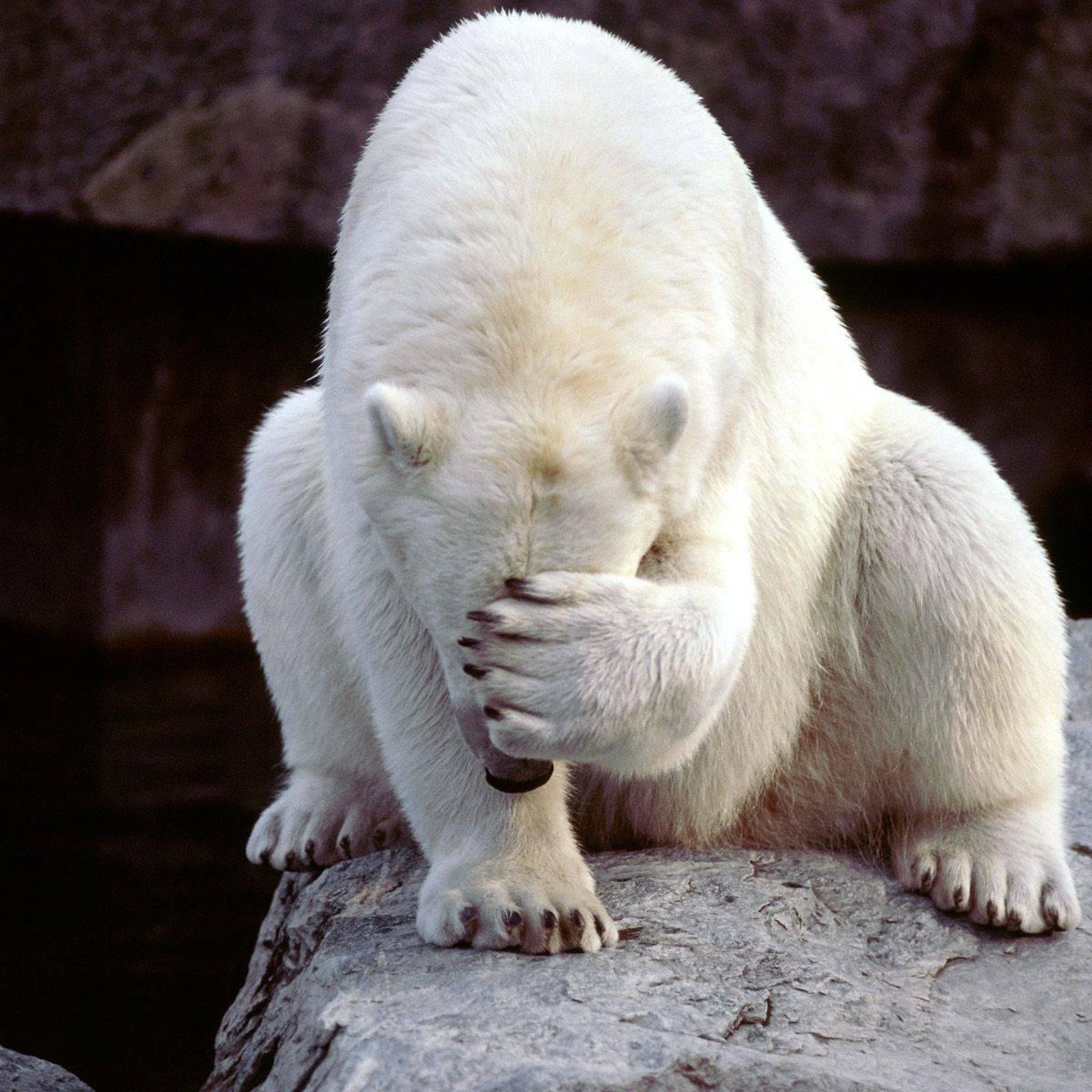 Polar Bear Facepalm iPad 3,4 & Air Wallpaper | ID: 35506 | Polar bear,  Animals, Bear