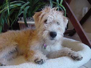 Soft Coated Wheaten Terrier Puppies Breeders Wheaten Terriers