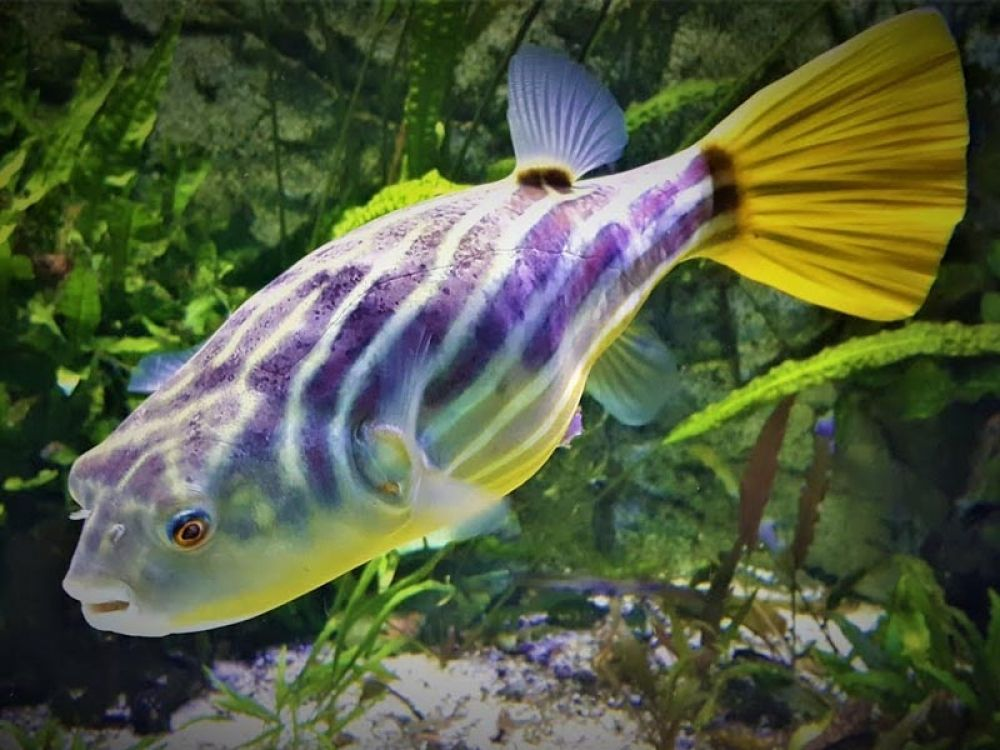 Https Www Google Com Search Q Fhaka Puffer Tbm Isch Ved 2ahukewis2ouwjzzrahuyvt8khwheaxwq2 Ccegqiabaa Oq Fhaka P In 2020 This Or That Questions Different Fish Breeds