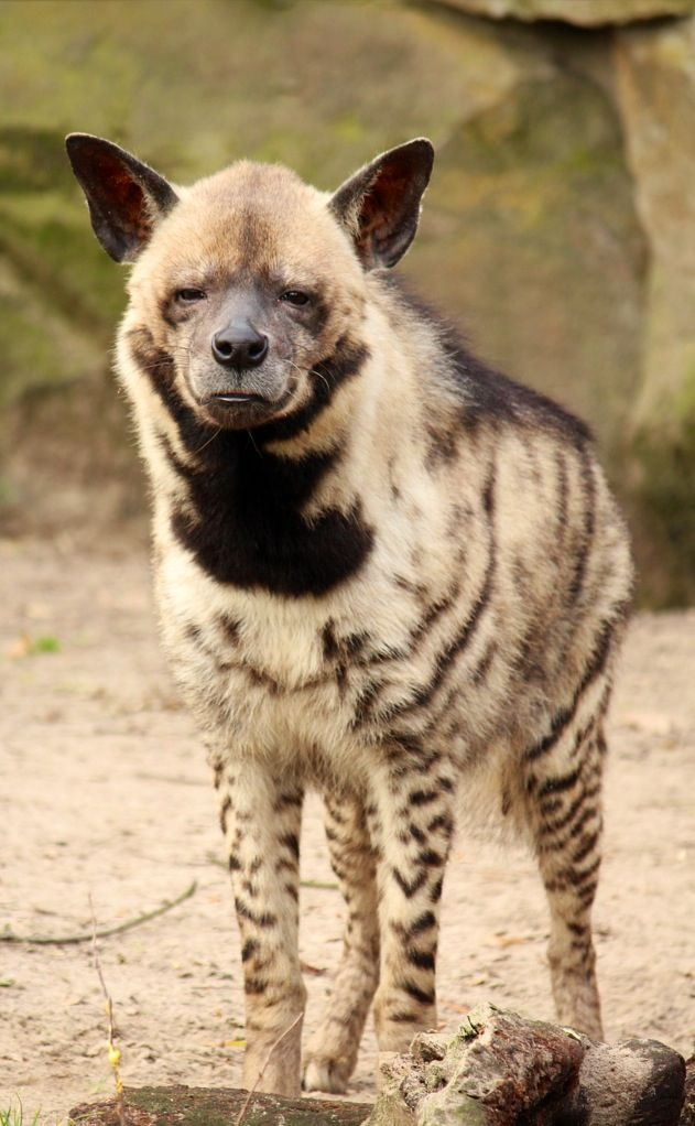 Striped Hyena sleeping in the winter sunshine. | STRIKING STRIPED ...