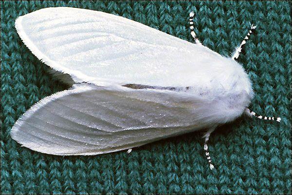fotowebsite rupsen en vlinders: fotopagina van de satijnvlinder