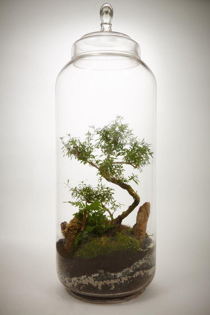 giant lab bonsa serissa foetida 8 ans terrarium humide green factory greenroom pinterest. Black Bedroom Furniture Sets. Home Design Ideas