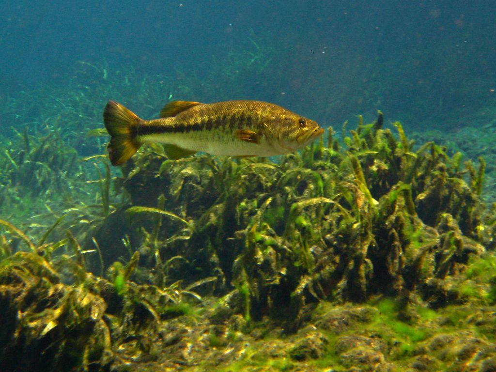 images for big largemouth bass wallpaper bass fishing