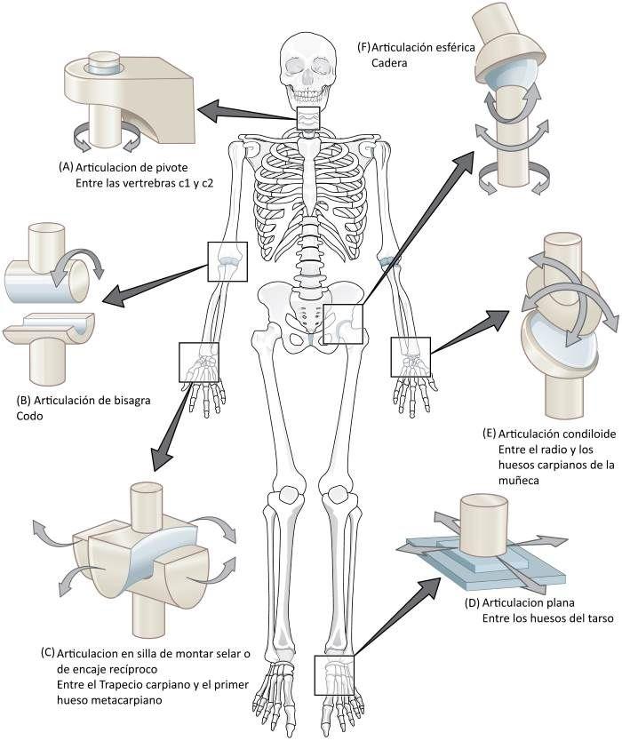Articulaciones Clasificacion y Funciones | patología | Pinterest ...
