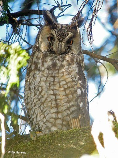 Abyssinian Owl / Asio a. abyssinicus